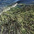 Eelgrass (Zostera marina) - iNaturalist.org(2).jpg