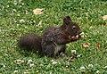 Eichhörnchen in Sachsen 2H1A1086WI.jpg