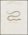 Elaps boaeformis - 1734-1765 - Print - Iconographia Zoologica - Special Collections University of Amsterdam - UBA01 IZ12000199.tif