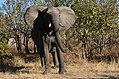 Elephant, Ruaha National Park (20) (28110958693).jpg