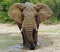 Elephant (Loxodonta Africana) 04.jpg