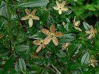 Elliottia pyroliflora 18455