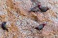 Emblema pictum -Karratha, Pilbara, Western Australia, Australia -four-8.jpg