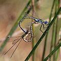 Emerald damselflies (Lestes sponsa) mating.jpg