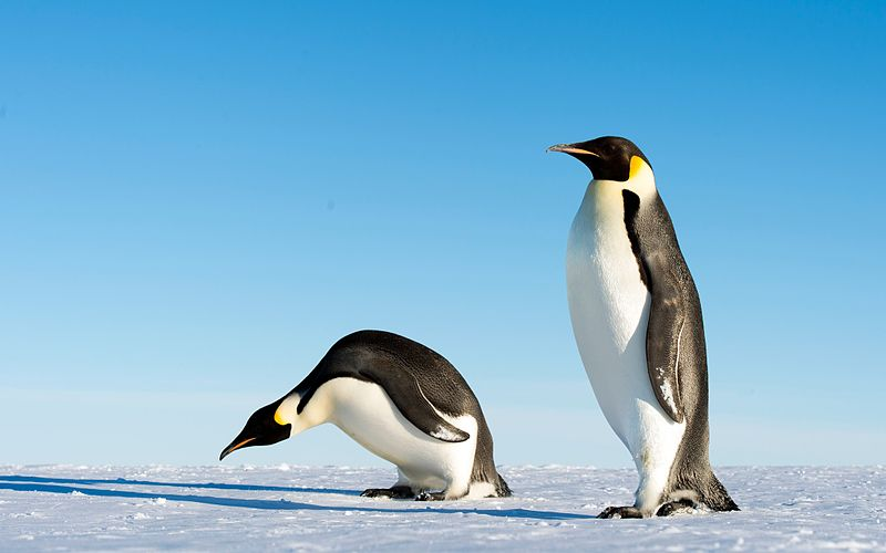 File:Emperor Penguins (11240321653).jpg