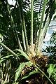 Encephalartos laurentianus-Jardin botanique Meise (7).jpg