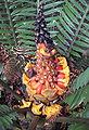 Encephalartos villosus fruit.jpg