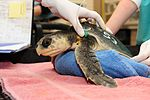Endangered sea turtles get a ride home from the Coast Guard DVIDS1133418.jpg
