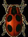 Endomychus coccineus Jacobson.png