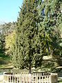 Enebro de Siria en el parque de la Fuente del Berro en Madrid.jpg