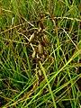 Epipactis palustris IMG 6780.jpg