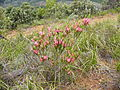 Erica plukenetii subsp. penicellata Baines Kloof (16).jpg