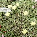 Eriogonum ursinum 1.jpg