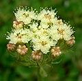 Eriogonum ursinum 5.jpg