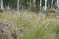 Eriophorum vaginatum kz12.jpg