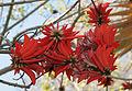 Erythrina corallodendron 2152.jpg