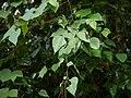 Erythropalum scandens Blume (31164498491).jpg