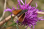 Essex skipper (Thymelicus lineola) female.jpg