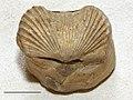 Estonian Museum of Natural History Specimen No 171612 photo (g1 g1-395 jpg).jpg
