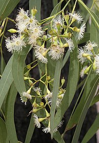 Eucalyptus crebra flowers