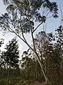 Eucalyptus pauciflora tree.jpg