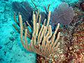 Eunicea mammosa1.jpg