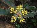 Euphorbia caerulescens 2017-05-31 2167.jpg