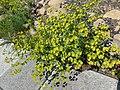 Euphorbia segetalis.001 - Ponferrada.jpg
