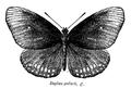 Euploea core godarti ctb.png