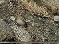 Eurasian Skylark (Alauda arvensis) (24827376492).jpg