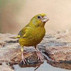 European greenfinch (Chloris chloris voousi) male.jpg