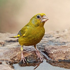 European greenfinch (Chloris chloris voousi) male.jpg