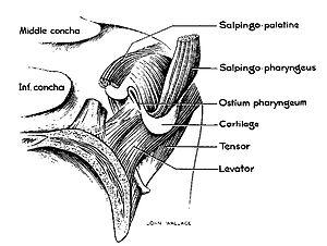 Salpingopharyngeus muscle