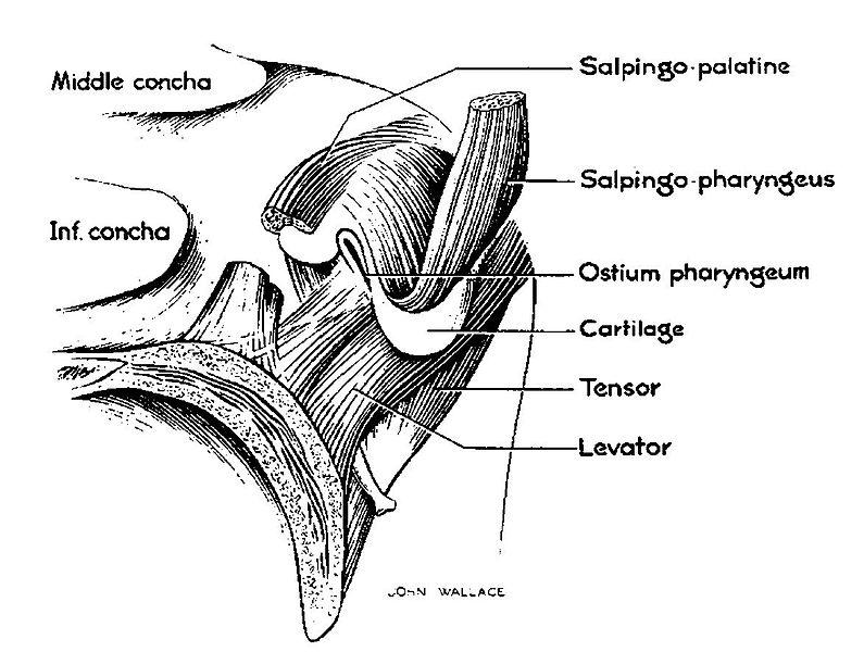 Anatomy of the eustachian tube