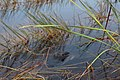 Everglades Alligator .jpg