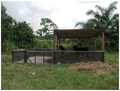 Experimental animal enclosure at Boadi Cattle Research Farm - journal.pone.0045794.g001.png