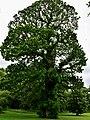 Fagaceae Castanea sativa 2.jpg