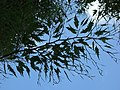 Fagus sylvatica 'Asplenifolia' Hofgarten Würzburg 2019 leaves.jpg