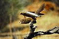 Falco berigora 2.jpg