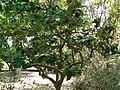 Fale - Giardini Botanici Hanbury in Ventimiglia - 537.jpg