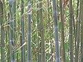 Fale - Giardini Botanici Hanbury in Ventimiglia - 681.jpg