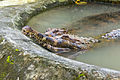 False gharial (Tomistoma schlegelii), Gembira Loka Zoo, 2015-01-15 02.jpg