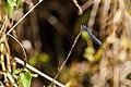 Familiar bluet (19894108644).jpg