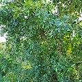 Faux poivrier (baies roses).jpg