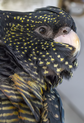 Female Black Cockatoo smiling-1 (11407350304).png