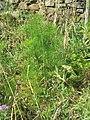 Fennel weed in Manarola (Liguria, Italy).jpg