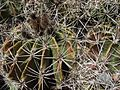Ferocactus flavovirens.jpg