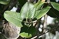 Ficus benghalensis 8zz.jpg