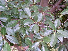 Ficus fraseri - leaves.JPG