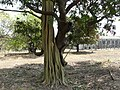 Ficus sp. (?) and Mangifera indica (2428964442).jpg